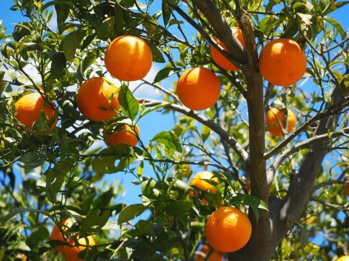 portocalul portocal portocalele portocale