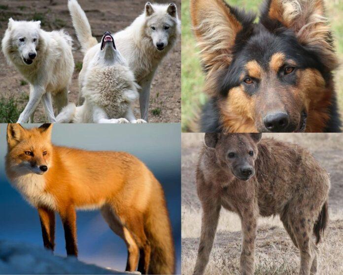 Familia Canidelor, rudele, câinele, câinelei