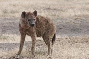 rudele câinelui, hiena