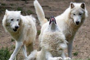 lup, familia canidelor,lupul